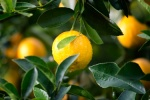 lemon on a tree surrounded by green leaves